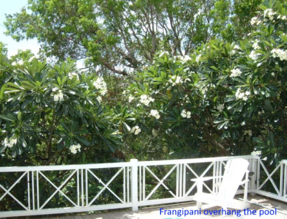 frangipani-over-the-pool2